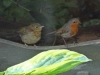 Adult-and-young-Robin-P-Marples-