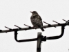 Bird-on-TV-arial-