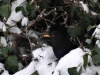 Black-bird-in-snowy-hedge