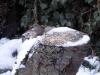 Dunnock-snow-