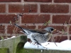 Fieldfare-in-garden-2