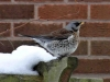 Fieldfare-in-garden-3