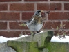 Fieldfare-on-garden-1