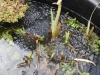 Frog-spawn-in-Forest-Town-Pond-5-April-1013