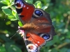 Peacock-Butterfly-the-Marples-