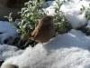 Wren-in-snow-2