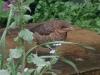 Young-Blackbird