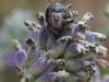Blue Bug (Larva) - Zicrona caerulea 01
