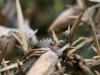 Blue Bug (Larva) - Zicrona caerulea 03