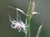 Candy Stripe Spider-Enoplognatha ovata 01
