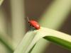 Cardinal Beetle (Lily Beetle) - Pyrochroa coccinea 01