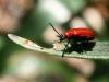 Cardinal Beetle (Lily Beetle) - Pyrochroa coccinea 02