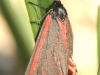 Cinnabar Moth - Tyria jacobaeae 01