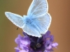 Common Blue Butterfly - Polyommatus icarus on Lavender