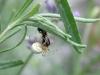 Cucumber Spider - Arianella cucurbitina with earwig prey