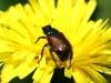 Garden Chafer Beetle - Phyllopertha horticola 02