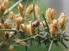 Garden Chafer Beetle - Phyllopertha horticola 03