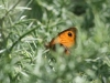 Gatekeeper Butterfly - Pyronia tithonus 01