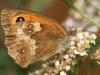 Gatekeeper Butterfly 003