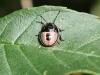 Gorse Shieldbug - Piezodorus lituratus (Larva) 01