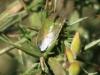 Gorse Shieldbug - Piezodorus lituratus 01