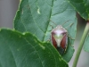 Gorse Shieldbug - Piezodorus lituratus 02