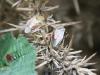Gorse Shieldbug - Piezodorus lituratus 04