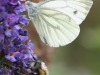 Green Veined White Butterfly - Pieris napi 01
