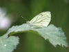 Green Veined White Butterfly - Pieris napi 02