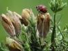 Harlequin Ladybird - Harmonia axyridis 02