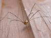 Harvestman Spider - Leiobunum rotundum 01