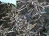 Harvestman Spider - Leiobunum rotundum 02