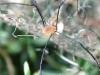 Harvestman Spider - Leiobunum rotundum 03