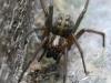 House Spider - Tegenaria gigantea 01