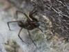 House Spider - Tegenaria gigantea 02