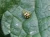 Ladybird - Psyllobora 22-punctata 03