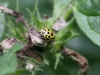 Ladybird - Psyllobora 22punctata 01