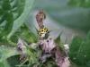 Ladybird - Psyllobora 22punctata 02