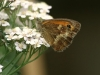 Meadow Brown Butterfly 007 - Copy