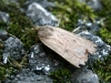Mouse Moth - Amphipyra Tragopoginis