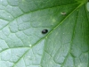 Negro Bug - Thyreocorsis scarabaeoides 02