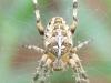 Orb Web Spider - Araneus diedamatus 01