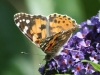Painted Lady Butterfly - Cynthia cardui