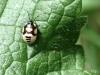 Pied Shieldbug (Larva) - Sehirus bicolor 01