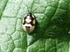 Pied Shieldbug (Larva) - Sehirus bicolor 02