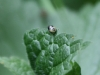 Pied Shieldbug (Larva) - Sehirus bicolor 03
