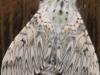 Puss Moth - Cerura vinula 02
