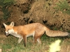 Red Fox - Vulpes vulpes 04