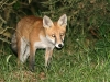 Red Fox - Vulpes vulpes 06