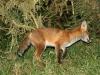 Red Fox Cub 01